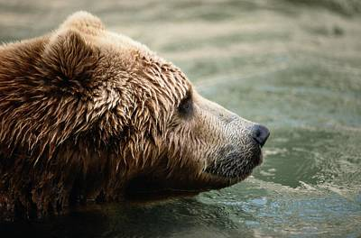 A Side-view Of A Captive Kodiak Bear Poster