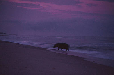 A Silhouetted Hippopotamus At Surfs Poster