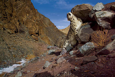 A Snow Leopard Marks Its Trail Poster by Steve Winter