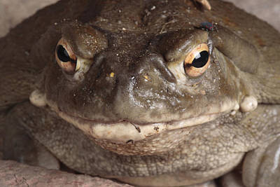 A Sonoran Desert Toad Pauses For A Photo Poster