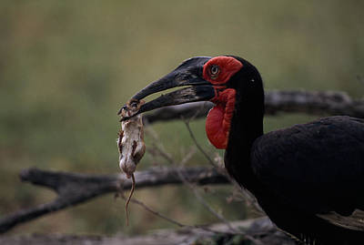A Southern Ground Hornbill Prepares Poster