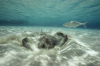 A Southern Sting Ray Burrowing Poster by Bill Curtsinger