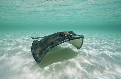 A Southern Stingray Of Grand Turk Poster