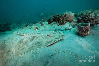 A Southern Stingray On The Sandy Bottom Poster by Michael Wood