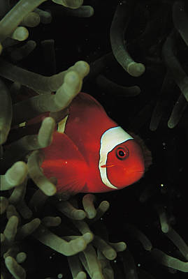 A Spinecheek Anemonefish Swims Poster by Tim Laman
