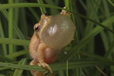 A Spring Peeper Faces The Camera Poster by George Grall