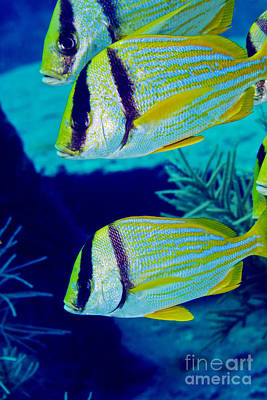 A Trio Of Porkfish, Key Largo, Florida Poster by Terry Moore