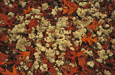 A Tumble Of Fall Colored Oak Leaves Poster