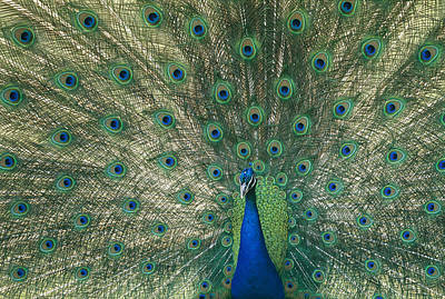 A View Of An Indian Peacock With Tail Poster