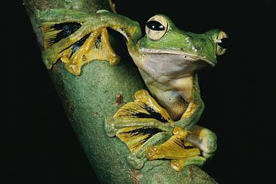 A Wallaces Flying Frog, Rhacophorus Poster