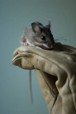 A White-footed Mouse Peromyscus Poster by Joel Sartore