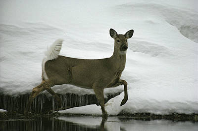 A White-tailed Deer Paces The Edge Poster by Michael S. Quinton