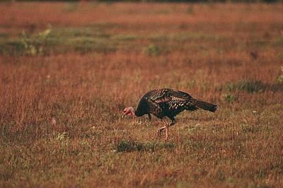 A Wild Turkey Gobbler Feeds In A Field Poster