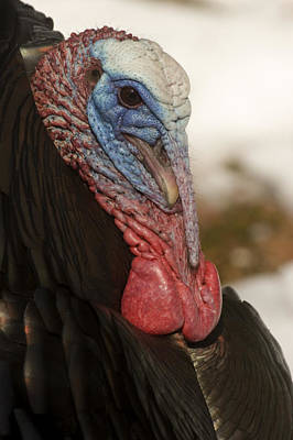 A Wild Turkey In The Woods Poster