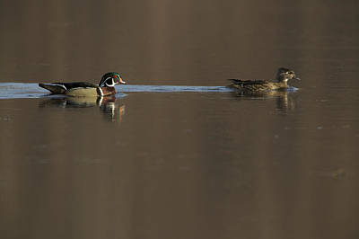 A Wood Duck Aix Sponsa Pair Poster by Tim Laman