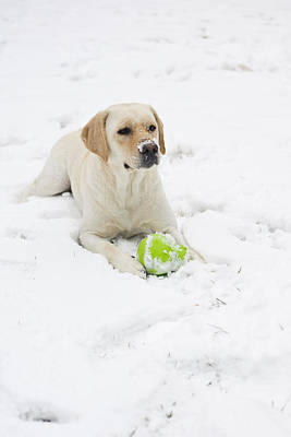 A Yellow Lab Lays In The Snow Poster by Hannele Lahti