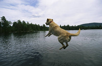 A Yellow Labrador Retriever Jumps Poster