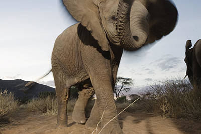 A Young Male Elephant Plays Poster by Michael Nichols