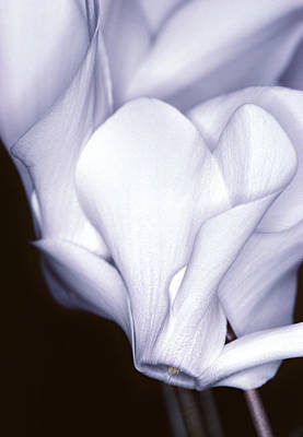 Silky Cyclamen Flowers Poster