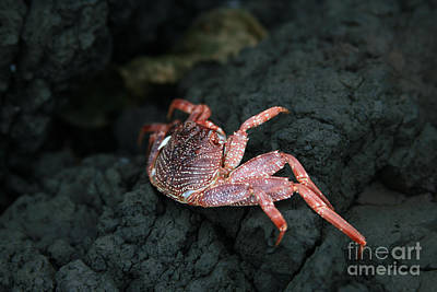 Aama - Thin Shelled Rock Crab - Grapsus Tenuicrustatus Poster by Sharon Mau