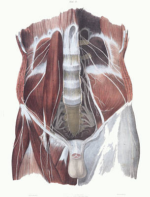 Abdominal Spinal Nerves Poster by Sheila Terry