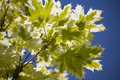 Acer Platanoides 'drummondii' Poster by Dr Keith Wheeler