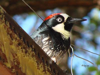 Poster featuring the photograph Acorn Woodpecker by Linda Cox