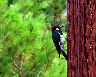 Acorn Woodpecker Poster by Timothy Bulone