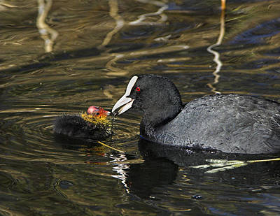 Adult Coot Feeding Its Chick Poster by Duncan Shaw