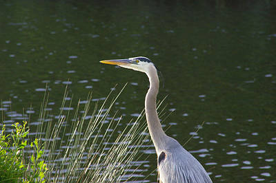 Poster featuring the photograph Adult Great Blue Heron by Brian Wright