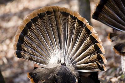 Adult Male Wild Turkeys Meleagris Poster