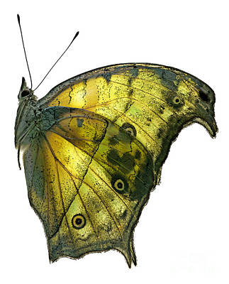 African Butterfly - Salamis Parhassus  Poster by Janeen Wassink Searles