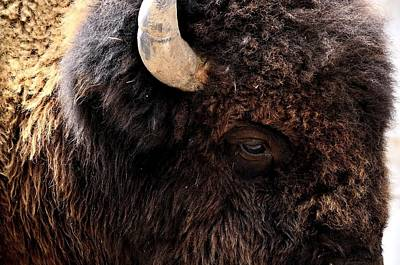 Poster featuring the photograph Ageless Bison Of Yellowstone by Yeates Photography