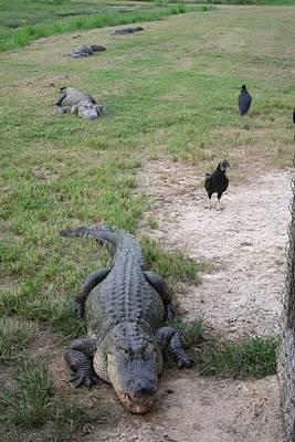Alligator Train Poster