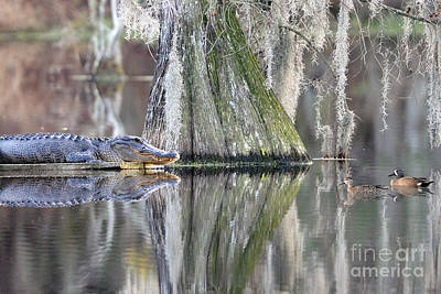 Poster featuring the photograph Alligator Waiting For Dinner by Dan Friend