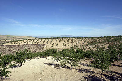 Almond Plantation Poster