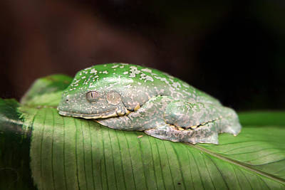 Amazon Leaf Frog Poster