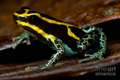 Amazonian Poison Frog Poster