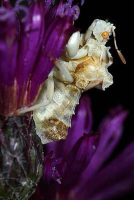 Ambush Bug On Ironweed Poster by Daniel Reed