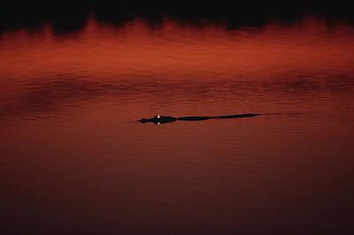American Alligator Alligator Poster by Konrad Wothe