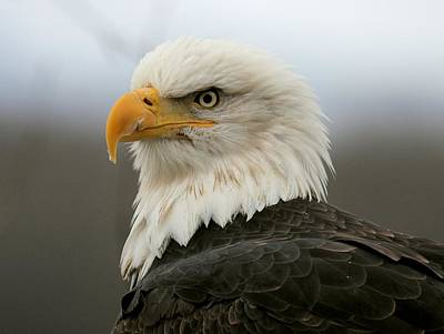 Poster featuring the photograph American Bald Eagle Portrait by Myrna Bradshaw
