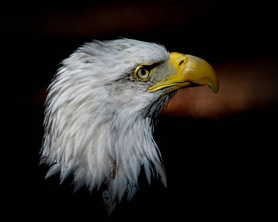 Poster featuring the photograph American Bald Eagle by Steve McKinzie