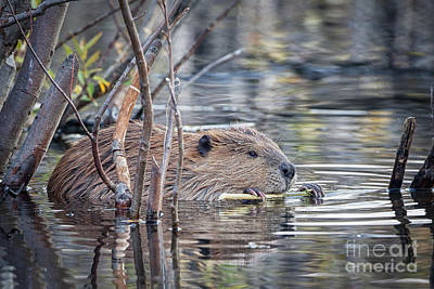American Beaver Poster by Ronald Lutz