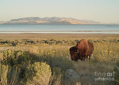 Poster featuring the photograph American Bison Antelope Island Utah by Doug Herr