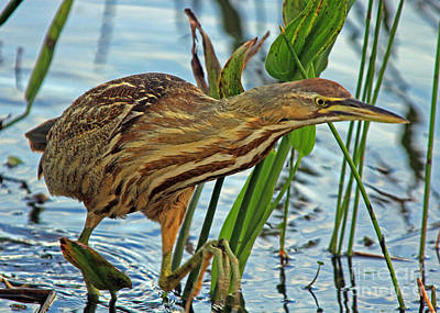 American Bittern Poster by Larry Nieland
