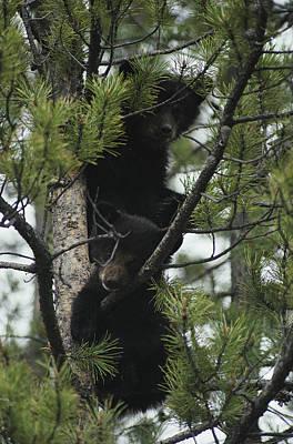 American Black Bear Cubs  Climb Poster by Michael S. Quinton