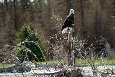 American Eagle On Snake River Poster by Living Color Photography Lorraine Lynch