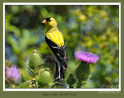 American Goldfinch 2  Poster