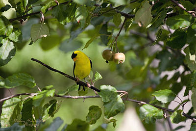 American Goldfinch And Crabapples Poster by Darlene Bell