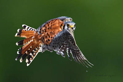 American Kestrel In Flight Poster by Michaela Sagatova